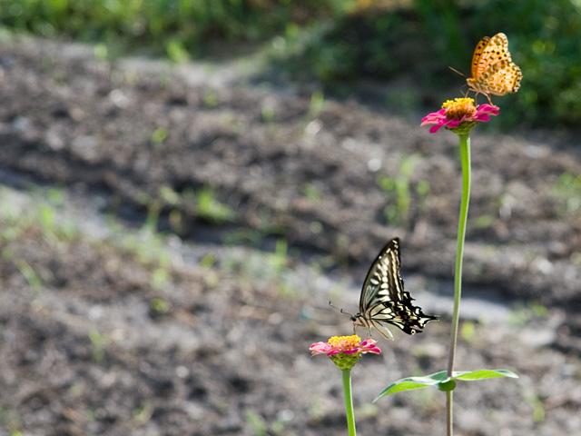 アゲハチョウとツマグロヒョウモンの写真(フリー素材)