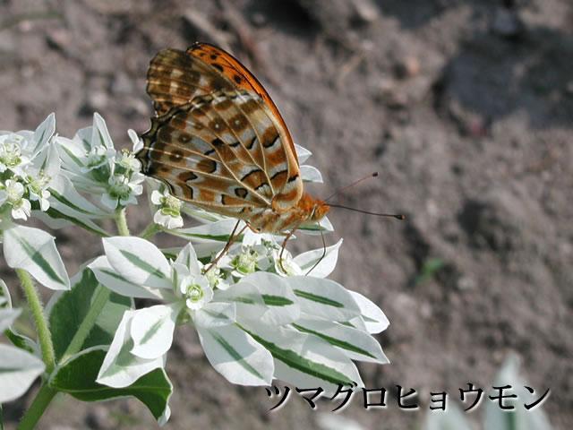 ツマグロヒョウモン(褄黒豹紋)と初雪草 (はつゆきそう)の写真(フリー素材)
