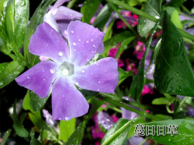 蔓日々草(つるにちにちそう)の写真(フリー素材)