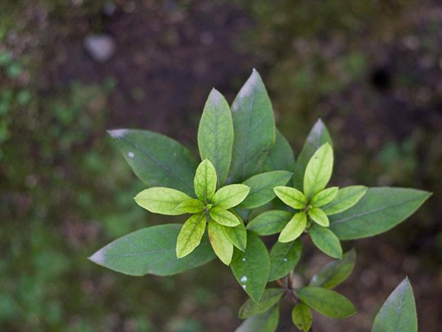 躑躅(つつじ)の葉の写真(フリー素材)