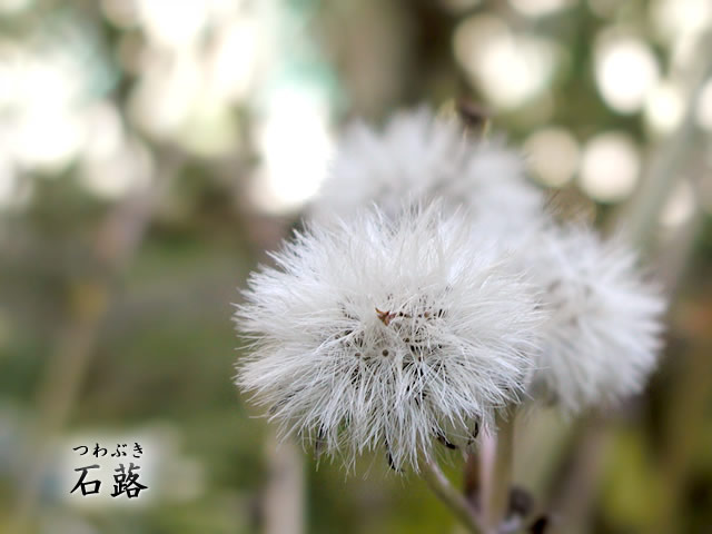 石蕗(つわぶき)の種の写真(フリー素材)