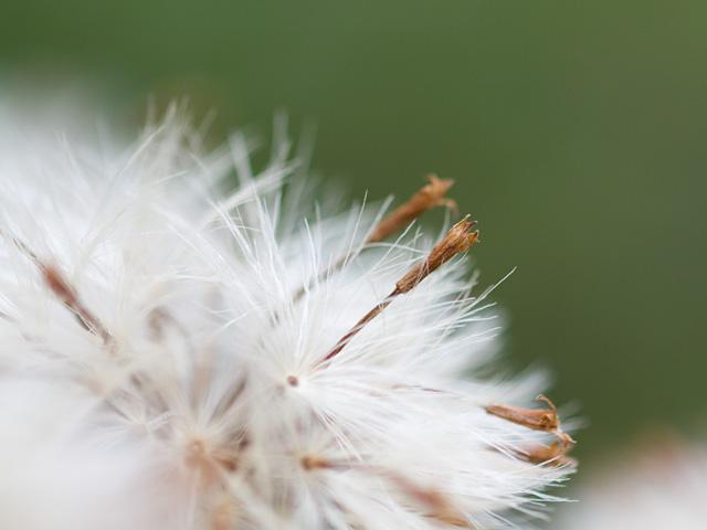 石蕗(つわぶき)の写真(フリー素材)