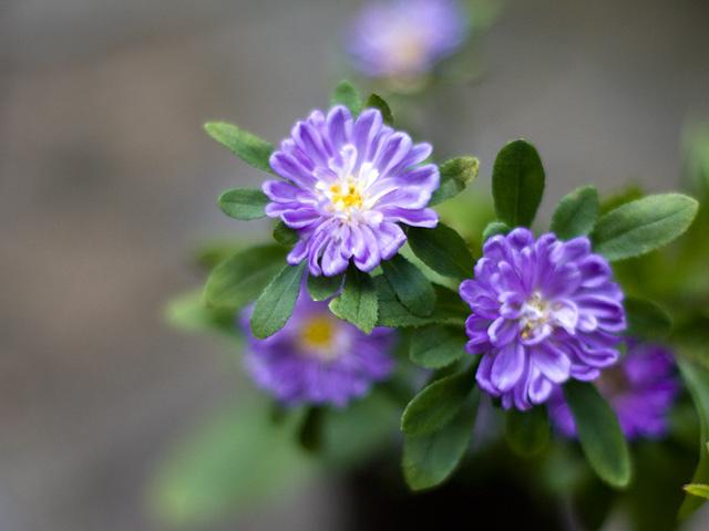 菊のような紫色の花の写真(フリー素材)