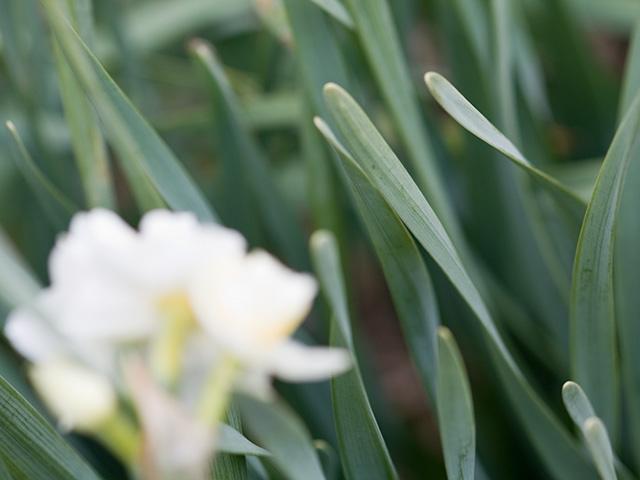 八重咲き水仙(やえざきすいせん)の写真(フリー素材)
