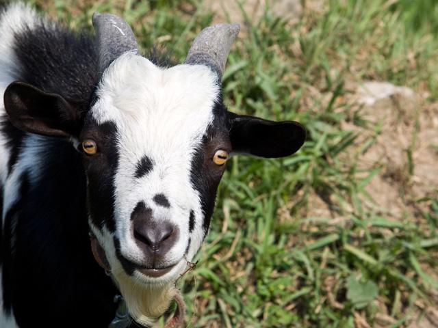 山羊(ヤギ)の写真(フリー素材)