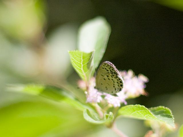 ヤマトシジミと小紫(こむらさき)の写真(フリー素材)
