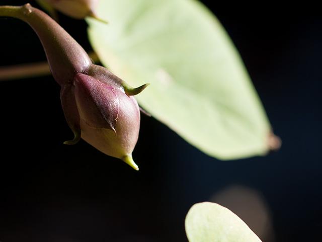 ユウガオ(夕顔)の写真(フリー素材)